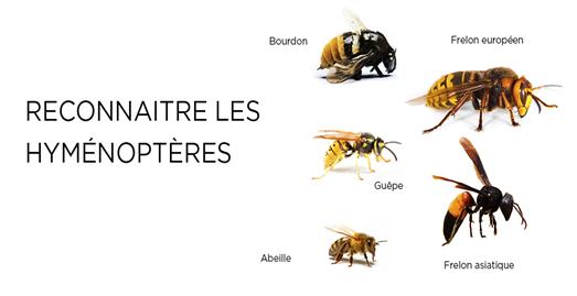 bien différencier les hyménoptères, abeille, guêpe, bourdon, frelon
